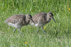 Teenage Twins (Tim Melling) Tags: numenius arquata curlew chicks timmelling