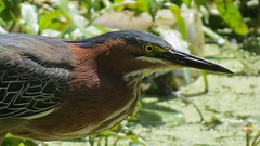Green Heron (shesnuckinfuts) Tags: greenheron butoridesvirescens backyard kentwa shesnuckinfuts june2018 nature heron wildlife wadingbird pond fishing