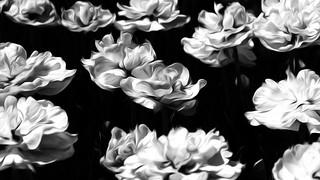 Tulips nocturne 2018