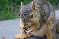 Squirrels in Ann Arbor at the University of Michigan (June 13th-15th, 2018) (cseeman) Tags: gobluesquirrels squirrels annarbor michigan animal campus universityofmichigan umsquirrels06152018 spring eating peanut juneumsquirrel juveniles juvenilesquirrels foxsquirrels easternfoxsquirrels michiganfoxsquirrels universityofmichiganfoxsquirrels