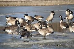 _MG_5480a (Rick_Moeller) Tags: nature wildlife birds stferdinandpark florissant missouri mo outdoors geese canada