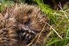 Hedgehog (Erinaceinae) (Dazarazmataz) Tags: hedgehog erinaceinae wildlife wild nature rescue uk garden wye nikon d7200 40mm macro micro