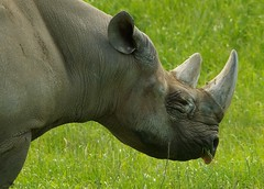 Black Rhino  (12) (Simon Dell Photography) Tags: black rare yorkshire wildlife park doncaster uk england spring day images high res animals zoo captive wild life simon dell photography tog 2018 may sunny rhino rhinoceros grass meadow field valley close up
