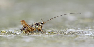 Roesel's Bush-cricket (Metrioptera roeselii), nymph