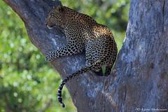 African Leopard (leendert3) Tags: leonmolenaar southafrica krugernationalpark wildlife nature mammals africanleopard coth5 ngc npc