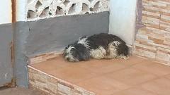 Abandoned dog,Caleta,Costa Adeje,Tenerife (JimGer947) Tags: tenerife costa adeje caleta fishing village harbour dog pedigree list stray abuse hungry spanish trust welfare food pdsa jenn johnston nairn scotland murcia rescue