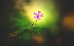 Herb robert (Dhina A) Tags: sony a7rii ilce7rm2 a7r2 a7r kaleinar mc 100mm f28 kaleinar100mmf28 5n m42 nikonf russian ussr soviet 6blades herbrobert flower bokeh painting
