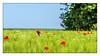 Klatschmohn im Gerstenfeld (günter mengedoth) Tags: tamron sp af 70200 mm f 28 di ld if macro tamronspaf70200mmf28dildifmacro mohn klatschmohn gerste papaver rhoeas papaverrhoeas pentax pentaxk1 k1 pk