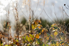 Frosty Morning Bokeh (_chloechappell) Tags: weeds branches leaves leaf spring frost sun sunny sunlight bright frosty backlight bokeh macro circles brown browns yellows greens sticks green colourful park garden nature dusk day digital outside camera north wild blur lights canon canoncamera canon700d