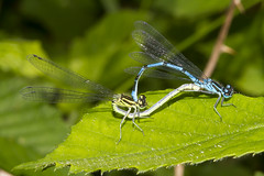 Azure Damsels mating (Coenagrion puella) (Explored) (wayne.withers1970) Tags: small pretty wings fly flight flying color colorful nature natural colour colourful wild wildlife wales summer flickr dof bokeh country countryside outside outdoors alive fauna flora canon sigma light blur black white blue green lake river water fine net mesh dragonfly dark macro damsel macromondays azure