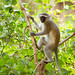 Vervet Monkey (Chlorocebus pygerythrus) - Gorongosa National Park, Mozambique