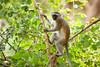 Vervet Monkey (Chlorocebus pygerythrus) - Gorongosa National Park, Mozambique (Thomas Shahan 3) Tags: pentax gorongosa mozambique bugshot workshop africa k3