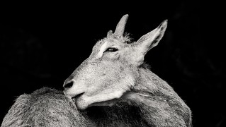 Animal Black and white