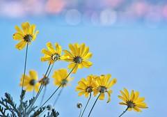 On Lake Maggiore (Sara Medica) Tags: flowers lake maggiore italy yellow