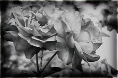 Red Roses in B&W (Pascal Volk) Tags: berlin prenzlauerberg prenzlberg prenzlauerallee ernstthälmannpark berlinpankow natur nature naturaleza pflanze plant planta blume flower flor blüte blossom bloom floral flowerpower artinbw schwarz weis black white blackandwhite schwarzweis sw bw bnw blancoynegro blanconegro closeup nahaufnahme bokeh dof depthoffield canonpowershotg1xmarkiii 45mm dxophotolab dxoanalogefexpro nikcollection 7dwf