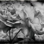 Red Roses in B&W thumbnail