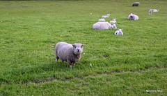 Teddy sheep (mootzie) Tags: grass sheep teddy field woolly aberdeenshire scotland