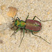 Splendid Tiger Beetle - Cicindela splendida, Meadowood Farm SRMA, Mason Neck, Virginia