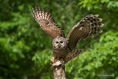A Precarious Perch (Earl Reinink) Tags: bird wildlife nature animal woods tree branch spring earl reinink earlreinink owl predator raptor barredowl iuidzdrdza
