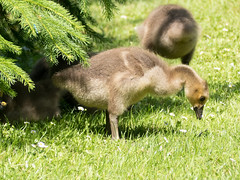 Gosling (Andy Sut) Tags: cute uk england shropshire dennfarm bird nature geese canadagoose young baby goose gosling