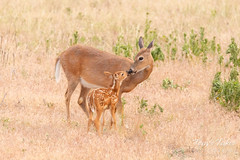June 10, 2018 - A newborn White-tailed Deer fawn and its mom enjoy a moment. (Tony's Takes)