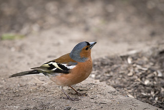 Common Chaffinch at Fairburn Ings