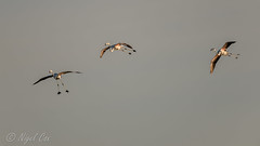 Flamingos in the air (NikonNigel) Tags: copyright©nigelcox copyrights