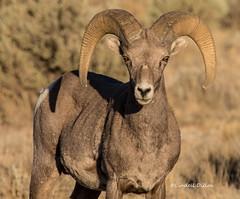 Big Horn Sheep (Lindell Dillon) Tags: bighornsheep ram wildlife nature riograndegorge taos newmexico lindelldillon