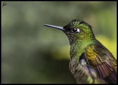 Brazilian Ruby (guiporcher) Tags: bird hummingbird beijaflor brasil trilha dos tucanos canon sigma birdwatch