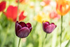Tulips at Dømmesmoen (Birgit F) Tags: 2018 burnside35 d500 may nikond500 cropsensor dømmesmoen flowers gardenmarket grimstad lensbaby norway photobirgitfostervold plants seeinanewway travelingburnsideproject