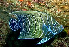 Pomacanthus semicirculatus  (intermediate stage) - Praslin Island, Seychelles (jeanmarie.gradot) Tags: angelfish ange seychelles praslin lazio underwater snorkeling blue bleu nature pomacanthus pomacanthidé semicircle koran pomacanthidae reef coral