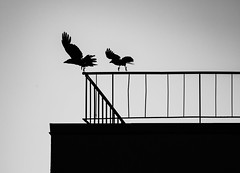 Night birds (donnicky) Tags: bird birds blackwhite building clearsky dancing group minimalism motion night outdoor publicsec roof silhouette spreadwings two wings d850