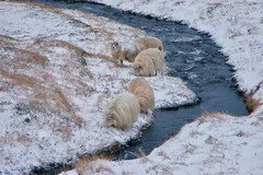 Sheepies Next to a Streamie (Cagey898) Tags: sheep river water snow grass wool fur cold white blue ice