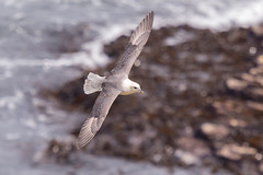 Fulmar...... (klythawk) Tags: fulmar fulmarusglacialis seabird wildlife nature sunlight rocks sea bokeh spring brown grey yellow beige black white nikon d500 300mmpf 14xtc coastlinewalk flamboroughhead eastriding northyorkshire klythawk