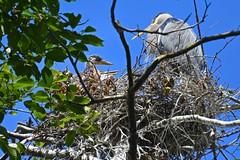 Great Blue Heron and Chicks (Aurora Santiago Photography) Tags: greatblueheron chicks nest commodorepark seattleparks