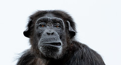 What you looking at? (irelaia) Tags: what you looking chimp monkey world ape rescue centre