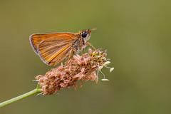 pequeña y naranja (Santi BF) Tags: mariposa papallona butterfly insecto insect insecte bicho bug macro closeup aproximación lepidoptera lepidóptero
