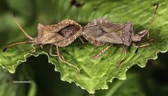 Dock bug -Squashbugs (Coreus marginatus) copulating (stevenbailey7) Tags: bugs insects nature wildlife tamron nikon flickr fauna detail spring garden walk leaf green d750 wild