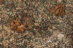 Asian Common Toad (Duttaphrynus melanostictus). (wildcreaturesasia) Tags: hongkongwildlifenatureanimalscolourphotocanonlifeconser hongkongwildlifenatureanimalscolourphotocanonlifeconservationrobertfergusonwildcreaturefreeinsectmacrocreatureschinanightwalkparkringflashtinylionspark asian common toad duttaphrynus melanostictus
