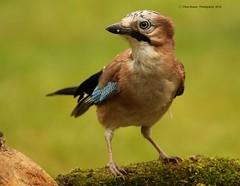 Jay 2018 (peterbowen56) Tags: birds bird jay garden wildlife nature nottinghamwildlifetrust
