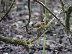 First Baby Robin (Wildlife Terry) Tags: rspbleightonmoss silverdale lancashire northwestengland wildlifeandnature birdwatching flyinginsect amateurphotography june2018