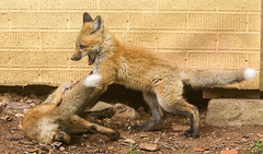 IMGL1476 (Wallace River) Tags: foxes novascotia pugwashfoxes redfoxes