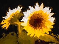 2362TS2  Sunflowers (foxxyg2) Tags: flowers sunflowers naxos cyclades greece greekislands islandlife islandhopping topaz topazstudio topazsoftware flora