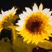 2362TS2  Sunflowers
