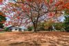 The Flame Tree (Irene Becker) Tags: africa imagesofnigeria kaduna kadunastate nigeria nigerianimages nigerianphotos northnigeria royalpoinciana theflametree westafrica irenebeckereu northernnigeria