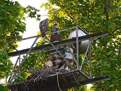 GT Hawk Nest (0773) (rbs10025) Tags: redtailedhawk buteojamaicensis bird young nest grantstomb generalgrantnationalmemorial morningsideheights manhattan nyc