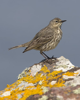 Rock Pipit x 2nd June
