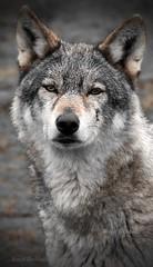 Gueule de Loup 2 (s)_tn (Chokb) Tags: loup gris européen animal fauve carnassier regard