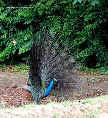 DSC01160 Indian Peafowl-Male (Pavo cristatus) (vlupadya) Tags: greatnature animal aves fauna indianbirds peafowl peacock pavo kundapura karnataka