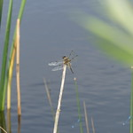 Four-Spotted Chaser P1760754 thumbnail